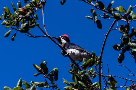 Oak Tree full of Acorns is perfect place for Acorn Woodpecker to perch and forage food against the Autumn blue sky.