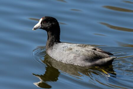 Alert American Coot duck swims rapidly across the lagoon water by kicking submerged, webbed feet behind body. Reklamní fotografie