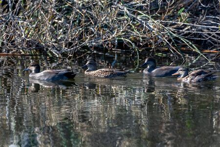 Two pairs of Gadwall ducks swim together along with reflection close to the safety of the vegetation shoreline. Reklamní fotografie