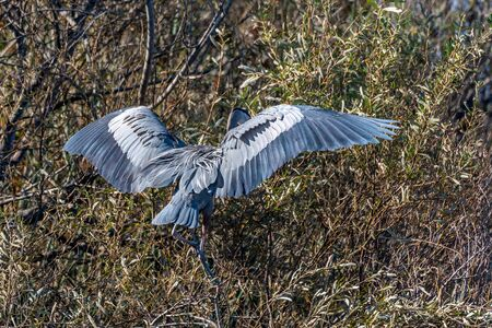 Magnificent large Great Blue Heron bird has wings covering face while settling in for a landing to the right in the safety of the high branches.