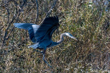 Magnificent large Great Blue Heron bird has wings spread wide while settling in for a landing to the right in the safety of the high branches. Reklamní fotografie