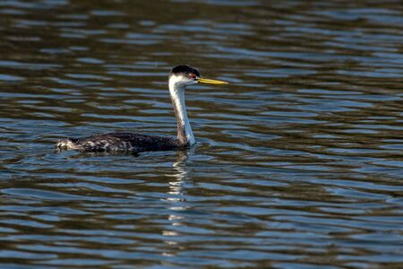 Western Grebe duck swims above its reflection in the pond water while fishing for food in the morning.