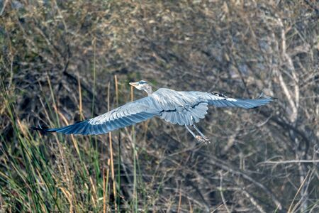 Magnificent large Great Blue Heron bird surveys the pond from the safety of the vegetation during and Autumn morning. Reklamní fotografie