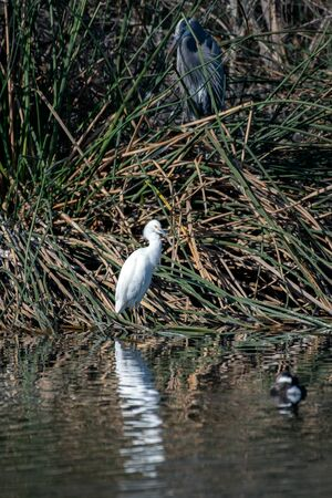 Beautiful Snowy White Egret perches motionless while Great B;lue Heron does same in same vegetation.