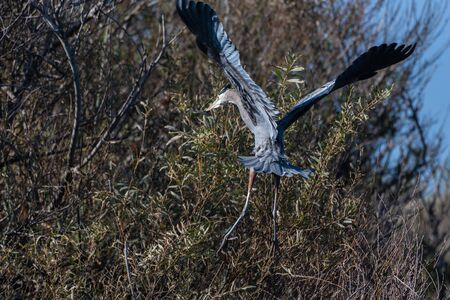 Magnificent large Great Blue Heron bird has spread wings while settling in for a landing to the left in the safety of the high branches.