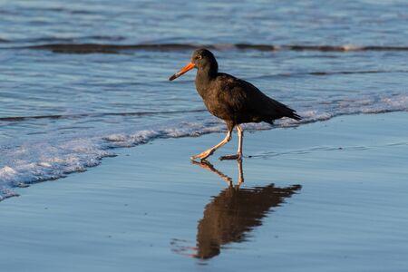 Black Oysetercatcher bird walks across shiny wet sand to ocean water shore with own reflection.