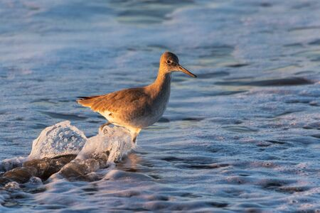 Western Willet wades through the shallow ocean water in search of a morning meal on the west coast of California.