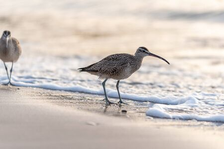 Long Billed, Curlew bird forages along the ocean shore in the morning on a California beach.