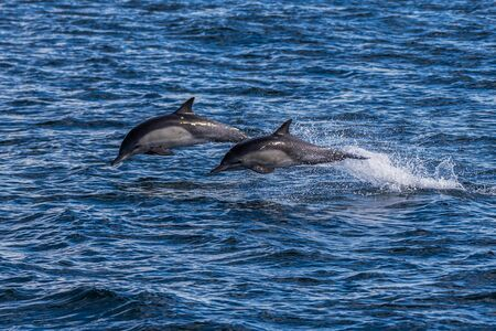 California common dolphins making splashes of ocean water while breaching the surface and jump out of the water.
