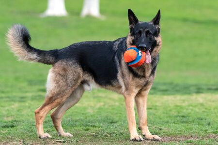 Large and magnificent German Shepard dog holding toy ball in mouth while looking across the grassy dog park.