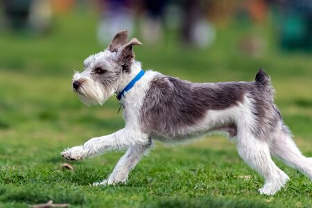 Excited Terrier dog running at full speed across the grassy park in a California winter.