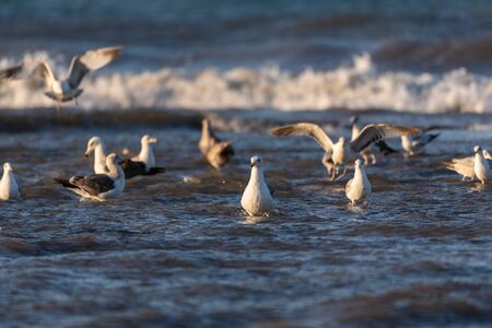 Large flock of ocean seagulls wading in same water cooperating while foraging for morning food.
