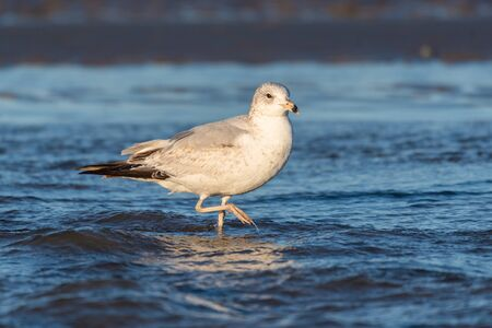 White and grey seagull wading in shallow ocean water balances on one dripping webbed foot while foraging for food.