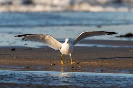 White seagull delicately lands on the waters edge sand and a low tide.