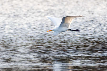 Snow White Egret glides to the left across the pond with wings spread wide in flight.