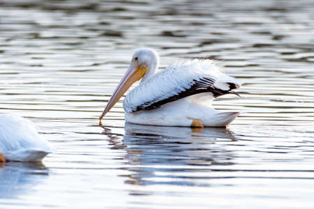 White Pelican with black tipped wings swimming along the reflective pond surface to the right as sunrise illuminates the water.