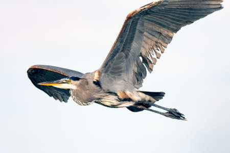 Great Blue Heron spreads huge wingspan wide as he flies across the esturary to the left. Imagens