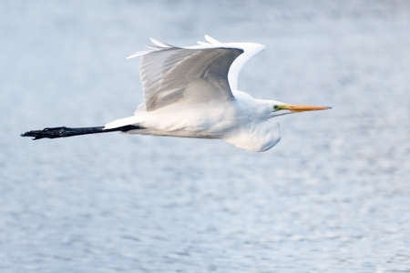 Snow White Egret glides to the right across the pond with wings spread wide in flight.