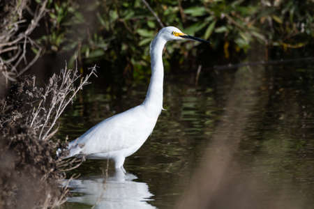 White Egret wades in shallow shore of pond while patiently waiting for a tasty meal to swim by. Imagens