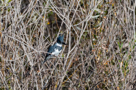 Belted Kingfisher bird satisfied to perch on the mangrove tree branch while looking to the right in the estuary.