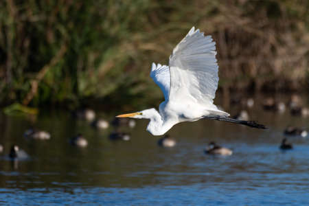 White Egret flaps white feather wings while gliding over pond surface past floating ducks.