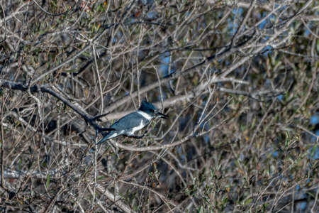 Belted Kingfisher bird satisfied to perch on the mangrove tree branch while eating small fish for a meal. Imagens