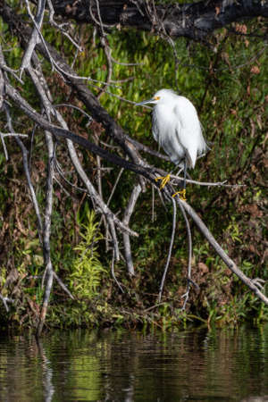 White Egret clings to a dry branch perch of the mangrove over the reflective pond water while looking to left in estuary. Imagens