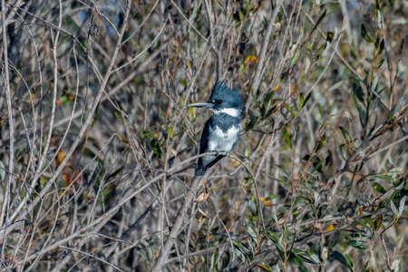 Belted Kingfisher bird satisfied to perch on the mangrove tree branch while looking to left in the estuary.