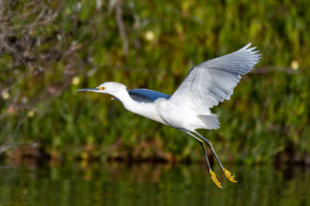 White Egret flaps white feather wings while gaining altitude in attempt to take off in flight. Imagens