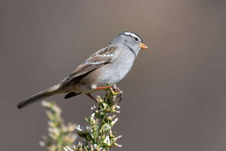 White crowned sparrow clings to top of vegetation out on the nature trail. Imagens