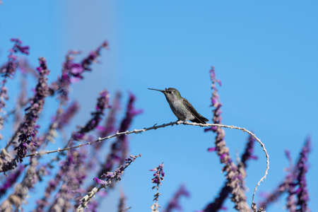 Rufus Hummingbird grasps vegetation firmly in claws while perched on a wildflower branch perch. Imagens