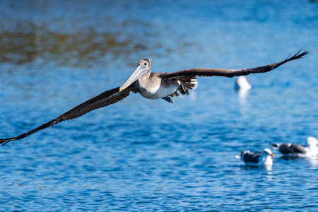 California Brown Pelican showing huge wingspan as while gliding over lagoon water.