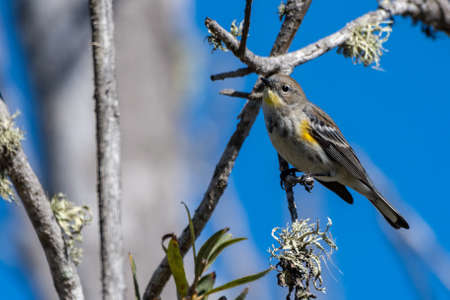 Pine Warbler perched on the branch of a tree on a blue sky day in estuary. Imagens