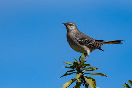 Mockingbird perched on the very top of the tree has birds eye view against the blue sky. Imagens