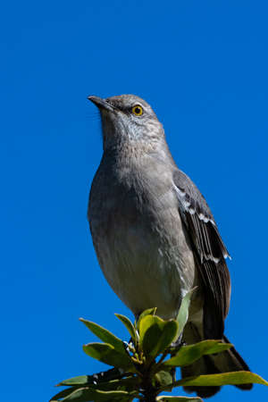 Close up view of Mockingbird perched on the very top of the tree has birds eye view against the blue sky. Imagens