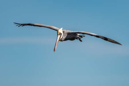 California Brown Pelican showing huge wingspan as wings are straight out in gliding pattern.