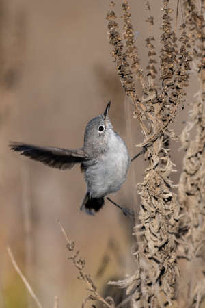 Blue Gray Gnatcatcher clings to vegetation branch while stretching one wing feather out for balance. Imagens