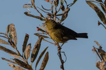 Orange crowned Warbler clings to vegetation branch while stalking an insect to eat.