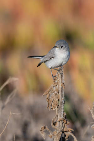 Blue Gray Gnatcatcher clings to tip top of vegetation branch while twisting neck to look to left in lagoon. Imagens