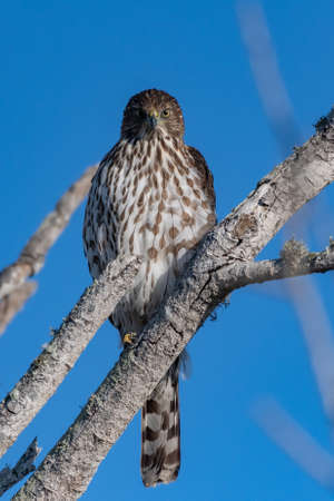 Coopers Hawk shows fierce expression while perched on deadwood tree branch overlooking the estuary from above.
