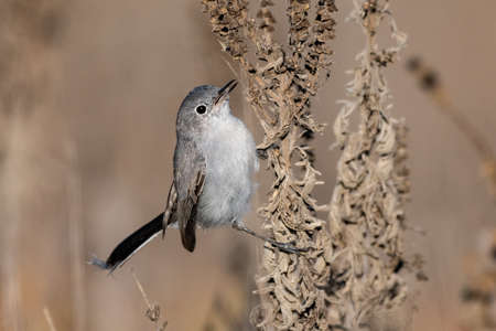 Blue Gray Gnatcatcher clings to vegetation branch while holding a freshly caught insect in beak and ready to eat.