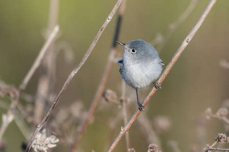 Blue Gray Gnatcatcher clings to vegetation branch while twisting neck to look to left in lagoon.