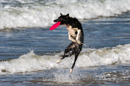 Athletic border collie dog leaping from ocean water to catch a flying plate out of the air with a big splash.