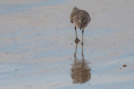 Least sandpiper searching along the wet sand shoreline of the beach for food under the surface.