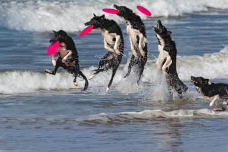 Composite photo burst of border collie dog sequence of running through ocean water to leap and catch a flying out of the air with a big splash.