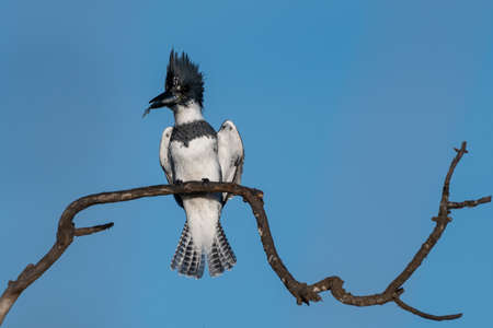 Male Belted Kingfisher clings to perch on deadwood branch with wing shoulders out while holding a fortunate catch of fish in beak. Imagens