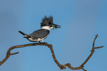 Male Belted Kingfisher clings to perch on deadwood branch while holding a fortunate catch of fish in beak to right.