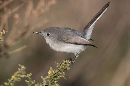 Adorable small Bluegray gnatcatcher bird clings to vegetation perch with beak pointing to the left.