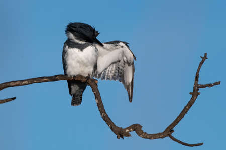 Male Belted Kingfisher clings to perch on deadwood branch while performing some self grooming under an outstretched wing.