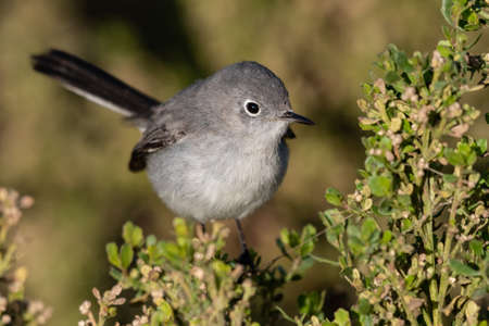 Adorable small Bluegray gnatcatcher bird clings to vegetation perch with beak pointing to the right. Imagens